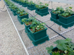 Green house strawberries with Autopot Systems Italy